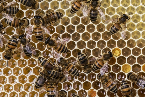 Why history? Bees in the medieval world image